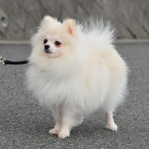 販売中のポメラニアンの成犬(20...